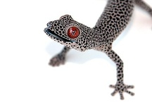 Geckos and other lizards