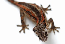 Our Geckos / facebook.com/gekkonarium
