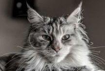 AmicoMaineCoon.it / Il gatto Maine Coon incarna tutte le caratteristiche tipiche del felino: l'aspetto fiero, imponente e selvaggio, rimanendo comunque un dolcissimo gatto, affettuoso, molto socievole ed estremamente intelligente.