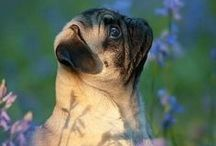 Not Pugly