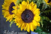sunflowers / Helianthus annuus aka sunflowers.