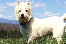 Westie Love / Westies - both mine and others.