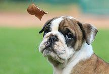Bulldogs / Cuty pies