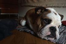 Bonnie Superstars / Bulldog lovers