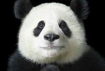 Precious Pandas