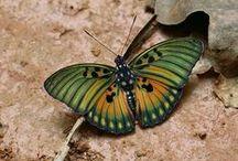 Butterfly, Moth - Perhonen, Yöperhonen