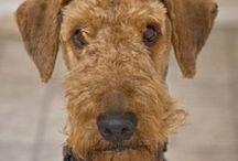 Airedale Terrier / I always wanted to have an Airedale. I don't know what is it about this breed but Airedales make me smile. Always. If you are lucky to have an Airedale, keep him near you and keep him happy! Have a great day!