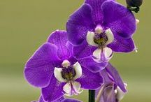 Orchid / Orchid Flowers Orchids / by asfoor