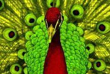 Paw i pawie pióra / fotografie i ilustracje