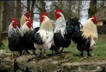Ptaki i zwierzęta domowe / Koguty. kury, gęsi, kaczki i nie tylko...