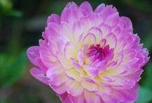 My favourite flowers / by Cynthia Chocolate-Roach