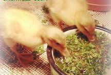 hodowla kurczaków i innych stworzeń