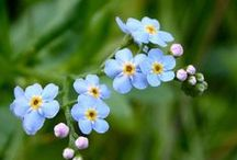 """Flori de """"nu-mă-uita"""""""