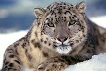Snow Leopard / My favorite cat. / by Billie Jo Holland