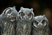 Amazing Owls