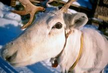 Lappland in Finnland / Lappland ist das magische Zuhause des Weihnachtsmannes in Finnland. Entdecken Sie die schönsten Ecken Lapplands und lernen Sie mehr über Rentiere, Nordlichter, Schnee, Eis, uvm.