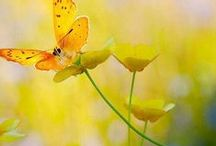 buttercups...uriel