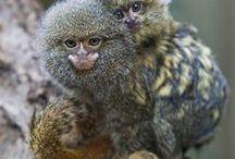Pygmy Marmosets / Cute!