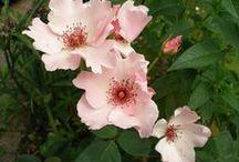 De rozen in mijn tuin / de rozen in mijn tuin
