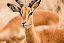 Antelopes & camels