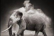 Hippos, rhinos & elephants