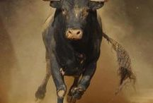 Bison, bull & cow
