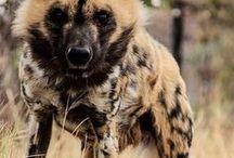 Hyena & african wild dog