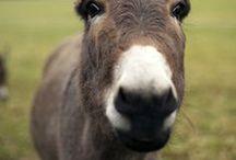 Donkeys, Llamas & Alpacas