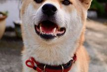 Shiba Inu / chien, dog, shiba inu, japanese dog, puppy, chiot