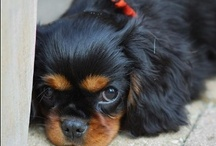 Black & Tan Cavalier King Charles Spaniels / Cavalier King Charles Spaniels are found in four color combinations. These are called Black & Tan.