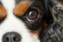 Tricolor Cavalier King Charles Spaniels / Cavalier King Charles Spaniels are found in four color combinations. These are called Tricolors.