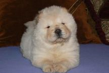 Broken Hill's Heart chow-chows - Our favourite photos. / Broken Hill's Heart chow-chow kennel - Our favourite photos.