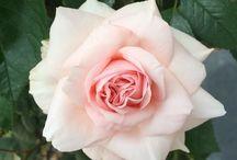 Rozen / Sinds de geboorte van mijn dochter Roos heb ik extra interesse voor rozen
