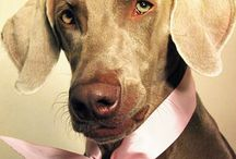 Weimaraner / Mooiste en liefste hond Most beautiful dog in the world