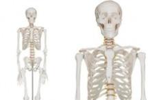 Skeletons | Skelett Modelle / Wissenswertes