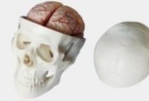Skulls | Schädelmodell