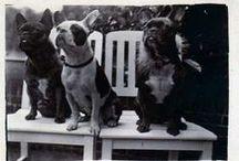 antique pictures french bulldogs// archiwalne zdjęcia bulw z przed lat