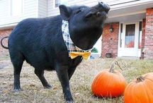 Dapper Piggy Apparel / Mini Pig Boy Clothes
