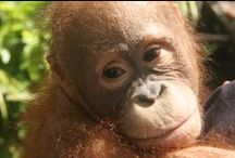 Orangutans / All photos taken by our committee members on Eco Tours and Project trips to Borneo
