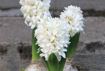 Hyacinth / Hiacynt
