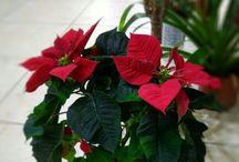 Saksı Bitkileri (Isparta çiçekçi) / Isparta Yiğitbaşı Çiçekçilik, Saksı Bitkileri, Çiçekli Bitkiler, Mevsimlik bitkiler, ısparta çiçek gönderimi