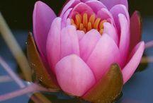 monet's lotus love