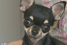 Adorable Chihuahuas ♥ / by lovejleto ♥