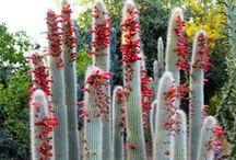 κακτοι - cactus