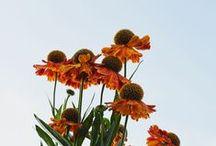 - Flower Farm - / Electric Daisy Flower Farm