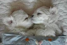 MALTEESERS  -  Maltese Terriers and their Buddies. / My little 'Malteeser', CHEDDA, is my best friend.  He was a giveaway and I'm so grateful that he was offered to me.