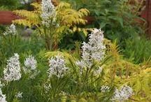 Amsonia Combinations / Plant partnerships that include bluestars