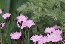 Dianthus Combinations / Plant partnerships that include dianthus (also known as pinks)