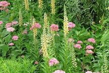 Digitalis Combinations / Plant partnerships that include foxgloves