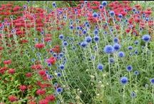 Echinops Combinations / Plant partnerships that include globe thistles